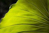 Elephant ears (Philodendron giganteum) leaf, Montserrat Island