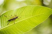 Katydid (Nesonotus reticulatus) on a leaf - Montserrat Island