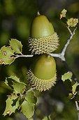 Acorns and leaves of Kermes oak ( Quercus coccifera ) , Canaille Cape , La Ciotat , Provence, France