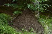 Anthill of red ant ( Formica rufa ) at the foot of a forest tree, Massif du Ballon d' Alsace , Vosges, France