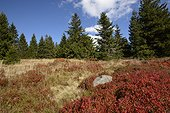 Bog spruce and blueberry in autumn, Tanet-Gazon du Faing Nature Reserve, High Vosges, France