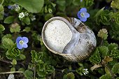 Burgundy snail ( Helix pomatia ) capped the end of hibernation and Germander speedwell (Veronica chamaedrys ) flowers in a vegetable garden , France