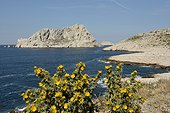 Clustered Carline Thistle (Carlina corymbosa), Les Goudes, Maïre island, Marseille, Provence, France