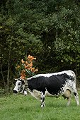 Transhumance of cows in the fall, lowering the high pastures of the farm inns herds Uff Rain and Treh in the Munster valley , stop at Mittlach , Hautes- Vosges France