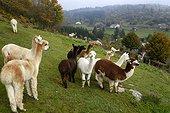 Breeding of llamas and alpacas , Mountain Lama , La Bresse , La Basse des Feignes , Vosges, France