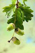 Leaves and acorns of English Oak (Quercus robur or Quercus pedunculata ) in the forest, Grand -Est, France