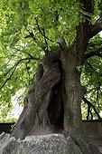 Tilleul à petites feuilles (Tilia cordata) planté au XIIIe siècle devant la cathédrale à Saint-Dié-des-Vosges, France