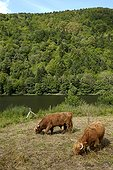 Highland cattle , maintenance of open landscapes of the valley of the Doller , Sewen Lake , Massif du Ballon d'Alsace , Vosges, France