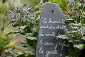 Borage ( Borago officinalis) and quote on slate, Herbarium : medieval garden , Saint-Valery-sur-Somme , Picardy, France