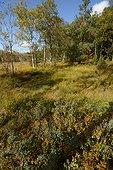 Forest Longegoutte , Bog of Charmes , Thiefosse , Regional Natural Park of Ballons des Vosges, France