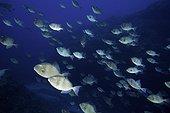 Banc de Balistes cabris (Balistes capriscus), Ile Santa Maria, Açores, Océan Atlantique