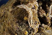 Fire worm, Hermodice carunculata, Santa Maria Island, Azores, Portugal, Atlantic Ocean