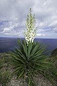 Spanish bayonet, Yucca aloifolia, Santa Maria Island, Azores, Atlantic Ocean