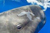 Portrait of a sperm whale, Physeter macrocephalus, Vulnerable (IUCN), Dominica, Caribbean Sea, Atlantic Ocean. Photo taken under permit n°RP 13/365 W-03.