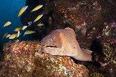Murène brune (Gymnothorax unicolor) dans les rochers, Ile Santa Maria, Açores, Océan Atlantique