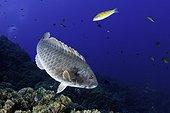 Mediterranean parrotfish, Sparisoma cretense, male, Santa Maria Island, Azores, Portugal, Atlantic Ocean