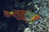 Mediterranean parrotfish, Sparisoma cretense, female, Santa Maria Island, Azores, Portugal, Atlantic Ocean