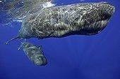Mother and calf sperm whale, Physeter macrocephalus, Vulnerable (IUCN), Dominica, Caribbean Sea, Atlantic Ocean. Photo taken under permit n°RP 13/365 W-03.