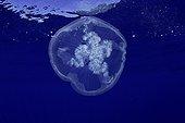 Moon jellyfish, Aurelia aurita, Santa Maria Island, Azores, Portugal, Atlantic Ocean