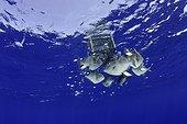 Balistes cabris (Balistes capriscus) à l'abri sous une caisse flottante, Ile Santa Maria, Açores, Océan Atlantique