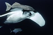 Close-up of Giant Manta Ray, (Manta birostris) with remoras, suckerfish (Remora remora), San Benedicto Island, Revillagigedo Archipelago Biosphere Reserve (Socorro Islands), Pacific Ocean, Western Mexico