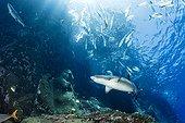 Whitetip reef sharks, Triaenodon obesus, Roca Partida close to San Benedicto island, Revillagigedo Archipelago Biosphere Reserve (Socorro Islands), Pacific Ocean, Western Mexico