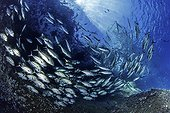 Shoal of shoal of bigeye jack, Caranx sexfasciatus, Roca Partida close to San Benedicto island, Revillagigedo Archipelago Biosphere Reserve (Socorro Islands), Pacific Ocean, Western Mexico