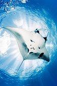 Giant Manta Ray, Manta birostris, El Boiler dive place, San Benedicto Island, Revillagigedo Archipelago Biosphere Reserve (Socorro Islands), Pacific Ocean, Western Mexico