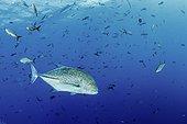 Bluefin trevally, caranx melampygus, El Boiler dive place, San Benedicto Island, Revillagigedo Archipelago Biosphere Reserve (Socorro Islands), Pacific Ocean, Western Mexico