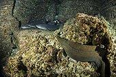 Panamic green moray, Gymnothorax castaneus and Whitetip reef sharks, Triaenodon obesus, Roca Partida close to San Benedicto island, Revillagigedo Archipelago Biosphere Reserve (Socorro Islands), Pacific Ocean, Western Mexico