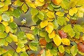 Blue tit (Cyanistes caeruleus) Tit perched amongst autumn leaves, England, Autumn