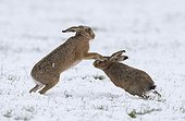 Brown hare (Lepus Europaeus) Hare chassing each other in the snow, England, Winter