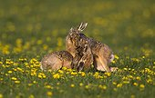 Brown hare (Lepus europaeus) Hare boxing in a meadow covered with dandelion, England, Spring