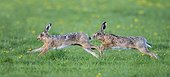 Brown hare (Lepus europaeus) Hare running after each other in a meadow, England, Spring