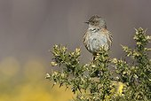 Dunnock (Prunella modularis) Bird perched on a gorse, England, Spring