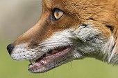 Red fox (Vulpes vulpes) Fox head details. England, Spring