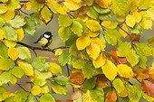 Great tit (Parus major) Tit amongst autumn leaves, England, Autumn