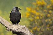 Jackdaw (Corvus monedula) Bird perched on a branch, Spain, Spring