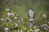 Sparrowhawk perched amongst crab apple blossoms, England, Spring