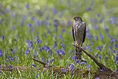 Sparrowhawk (Accipiter nisus) Young male perched amongst bluebell, Spring, England