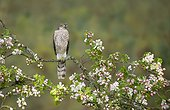 Sparrowhawk (Accipiter nisus) Young male perched amongst carbapple blossoms, England, Spring