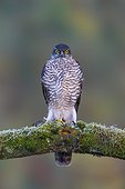 Sparrowhawk (Accipiter nisus) Young male perched on a branch, Spring, England