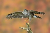 Sparrowhawk (Accipiter nisus) Young sparrowhawk perched on a branch and taking off, England, Autumn