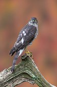 Sparrowhawk (Accipiter nisus) Young sparrowhawk perched on a branch, England, Autumn