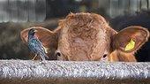Starling (Sturnus vulgaris) Starling and cattle, England, Winter