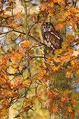 Tawny owl (Strix aluco) Owl perched in an oak tree in autumn, England, Autumn