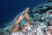 Hawksbill turtle (Eretmochelys imbricata) on the reef, Maldives , Indian Ocean