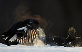 Black Grouse (Lyrurus tetrix) Kuusamo Finland