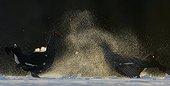 Black Grouse (Lyrurus tetrix) Kuusamo Finland