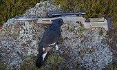 Black Grouse hunting (Lyrurus tetrix) Kauhajoki Finland